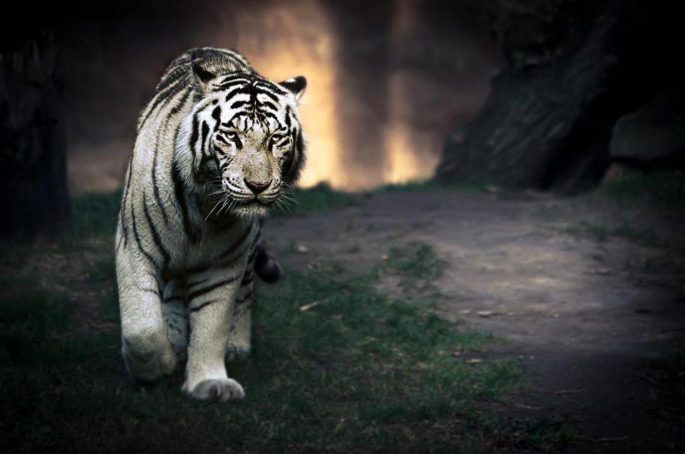 Foto del día: Tigre Albino